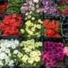 Рассада цветов