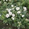 Саженцы розы морщинистой