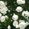 Саженцы розы колючейшей