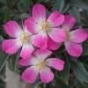 Саженцы розы сизой