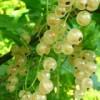Саженцы смородины белой