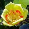 Саженцы тюльпанного дерева