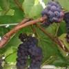 Саженцы винограда декоративного