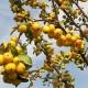 Саженцы яблони декоративной