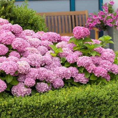 Гортензия крупнолистовая Со Лонг Рози (цветёт всё лето)