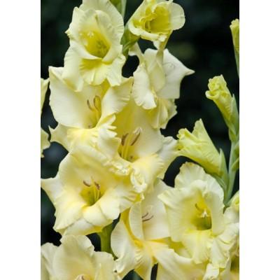 Гладиолус Деббиэнн (крупноцветковый)