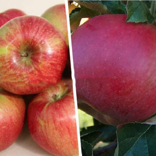 Дерево-сад (2-3х летка) яблоня 2 сорта Уэлси - Красное ...
