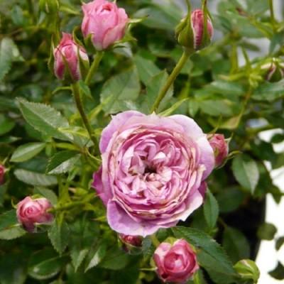 Роза серия Пикси Блаш