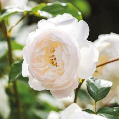 Роза английская парковая Дездемона