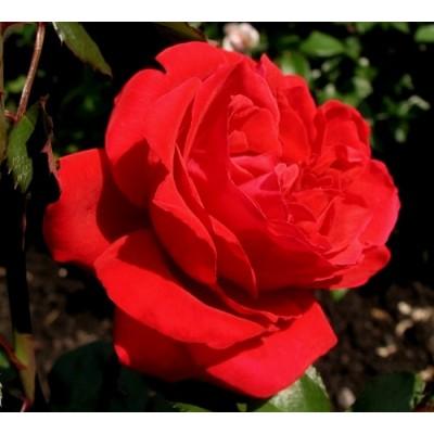 Роза плетистая Грандесса