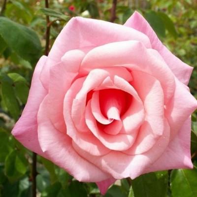 Роза плетистая Хай Хоупс