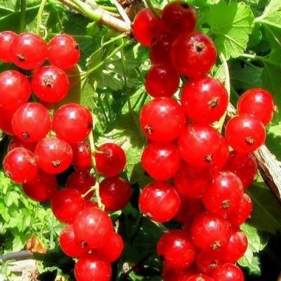 Смородина красная Хрустящая (традиционный сорт)