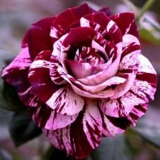 Роза флорибунда Имеджин
