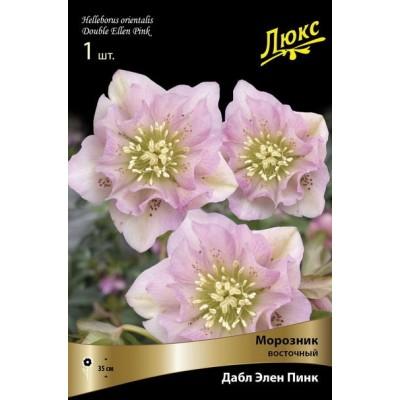 Морозник восточный Дабл Элен Пинк (нежно-розовый с тёмным крапом, махровый, крупный)