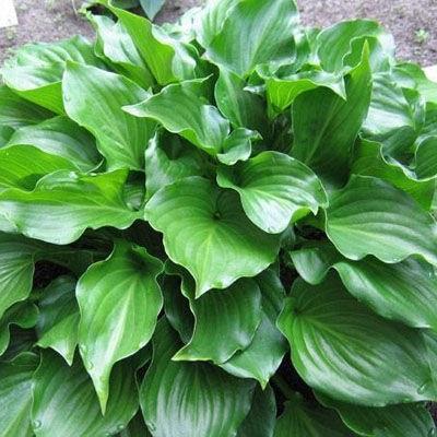 Хоста гибридная Инвинсибл (листья яр-зел,блестящ,цв.аромат,выдерж.яркое солн,быстро разраст)