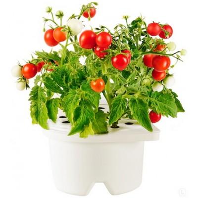 Рассада томатов-черри (кассета 54 ячейки)