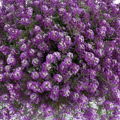 Рассада алиссума фиолетового (кассета 54 ячейки)