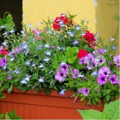 Ампельные цветы в балконном ящике
