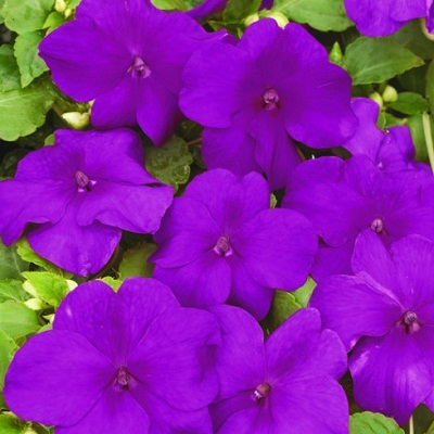 Бальзамин фиолетовый  (1 шт)