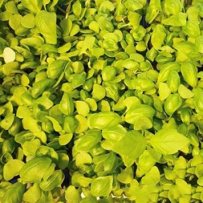 Семена микрозелени Базилик (10 г)