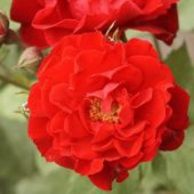 Роза флорибунда Алейн