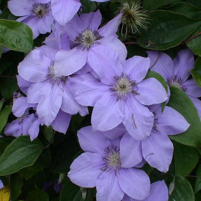 Клематис Рамона  (крупноцветковый)