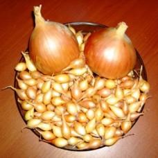 Лук-севок Геркулес (0.5 кг) - частично проросший