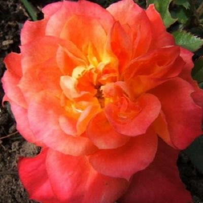 Роза миниатюрная Мандарин