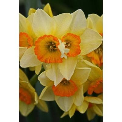 Нарцисс Сьюзи (многоцветковый)
