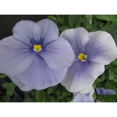 Рассада виолы нежно-голубой  (1 шт)