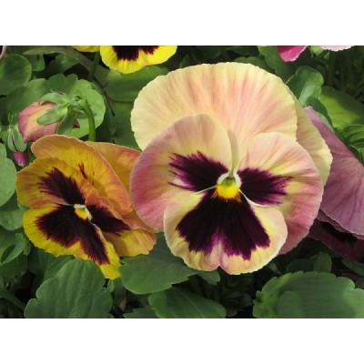 Рассада виолы нежно-розовой с глазком (1 шт)