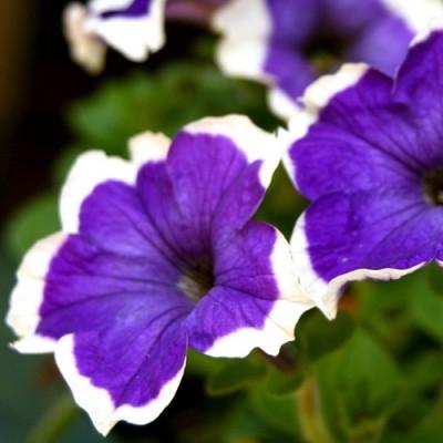Рассада петунии фиолетовой с белой каймой (6 шт)