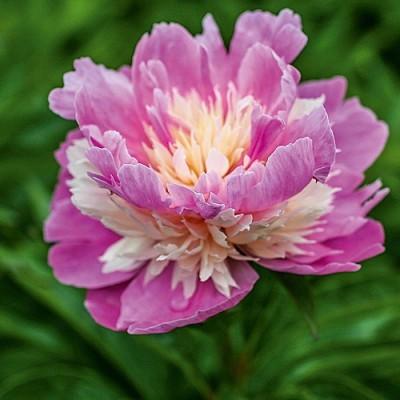 Пион молочноцветковый Сорбет
