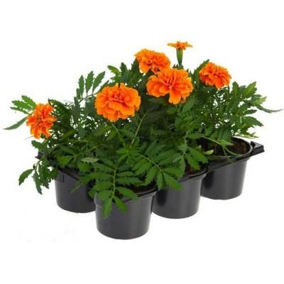 Рассаду бархатцев отклоненных оранжевых купить  в гипермаркете Чистый Мир.