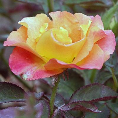 Роза чайно-гибридная Фортуна (лососево-розовый)