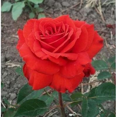 Роза чайно-гибридная Лидка (красная)