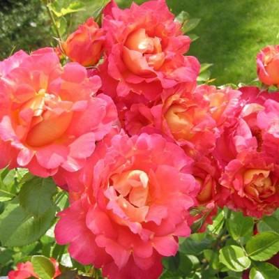Роза Мейян парковая Декор Арлекин