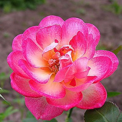 Роза миниатюрная Свит Симфони