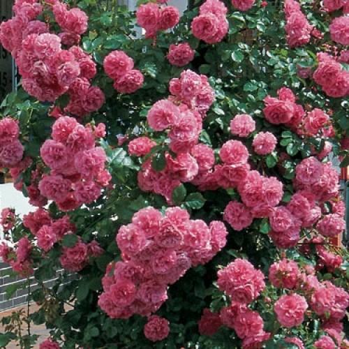 сорта роз с фото и названиями плетистые элементы