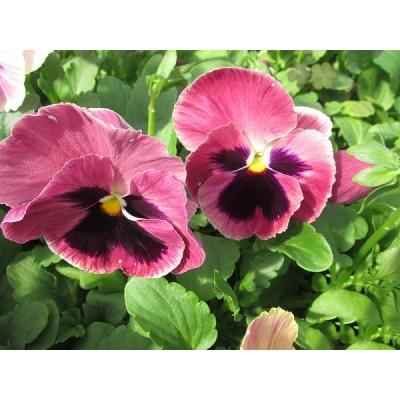 Рассада виолы розовой с глазком  (1 шт)