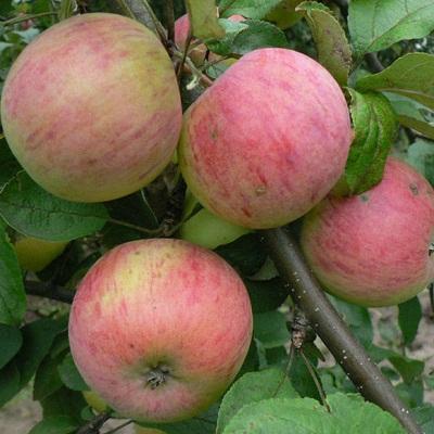 Яблоня Осеннее полосатое (Штрефлинг)