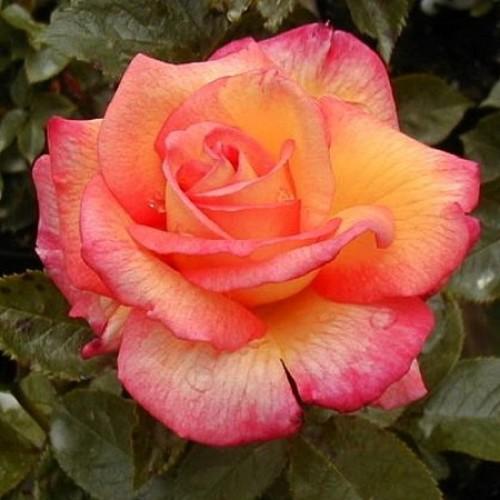 роза шейлас парфюм