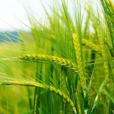 Сидерат Пшеница яровая