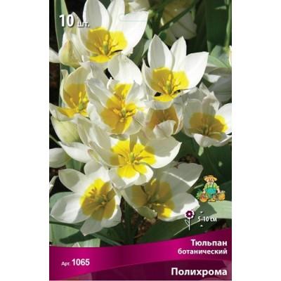 Тюльпан Полихрома (ботанический)