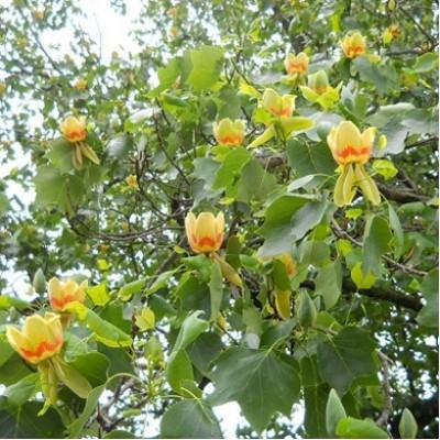Тюльпанное дерево (Лириодендрон китайский)