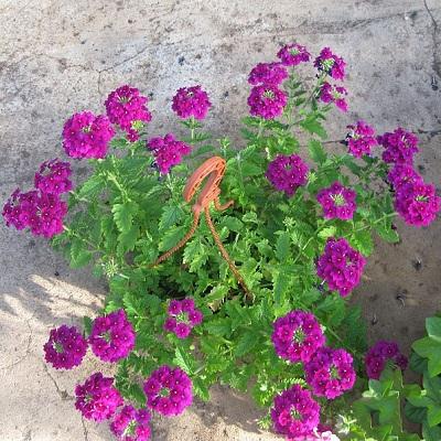 Вербена ампельная фиолетовая в кашпо d23 см