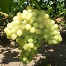 Виноград плодовый Кишмиш № 342
