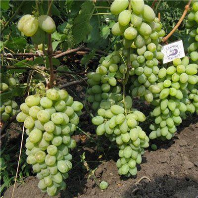 Виноград плодовый Русский янтарь