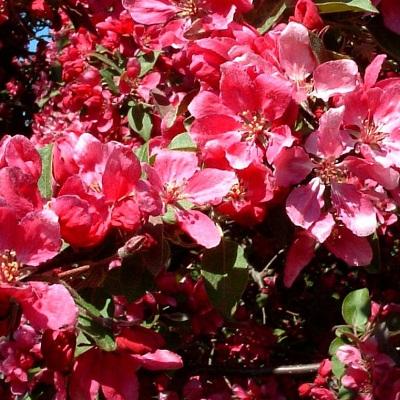 Яблоня декоративная Малиновка