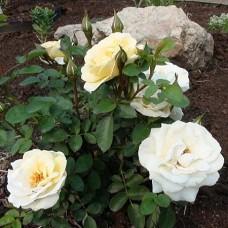 Роза канадская парковая Ж.П.Коннел (серия Северный сад)